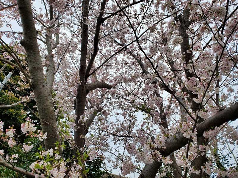 白とピンクの桜