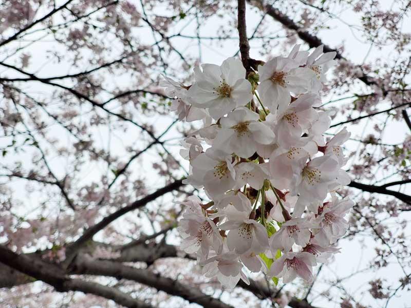 しばし桜を鑑賞