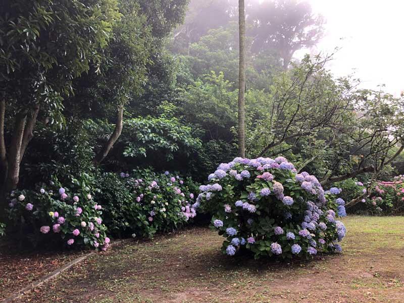 稲村ケ崎公園の頂上の紫陽花
