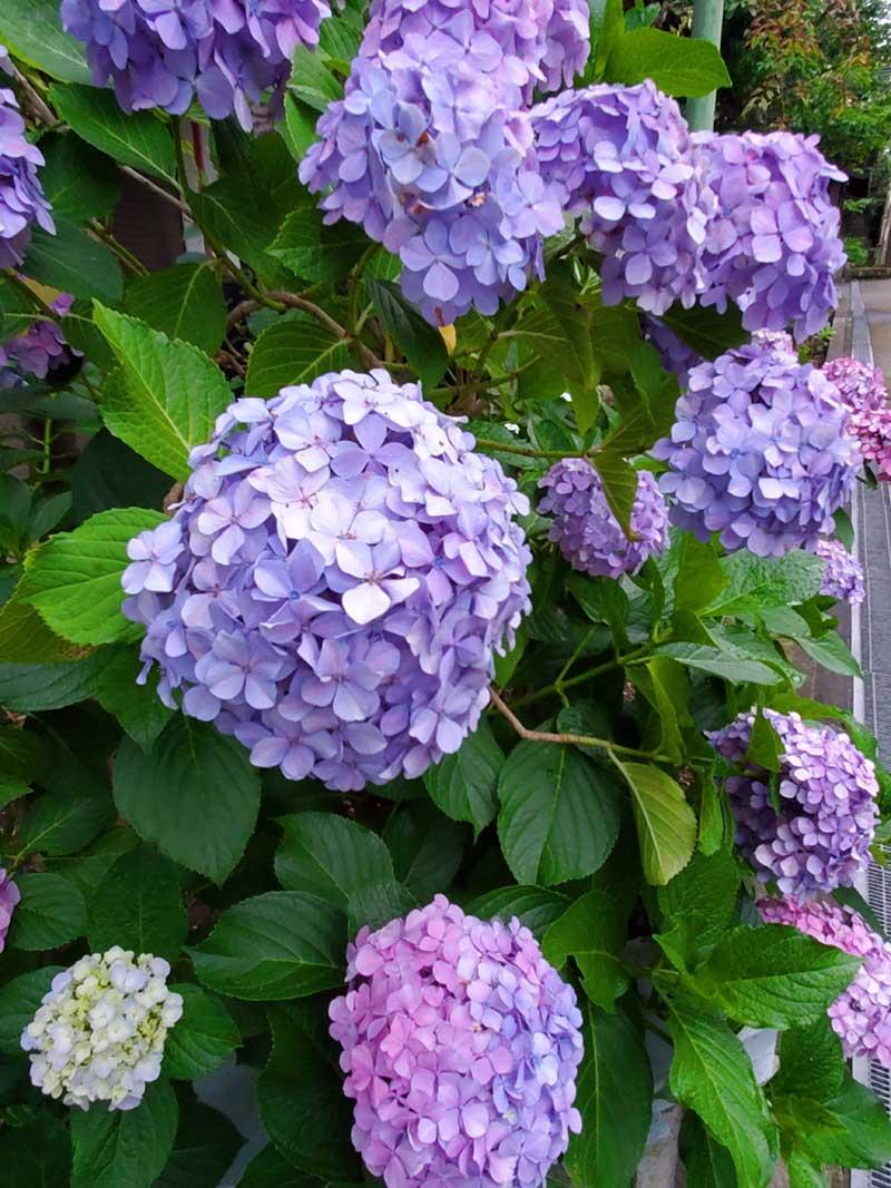 小動神社の紫陽花