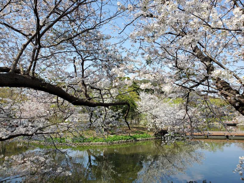 源氏池の桜は満開