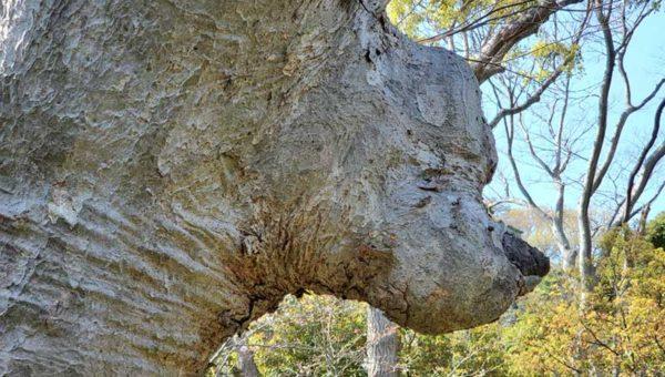 【鎌倉鶴岡八幡宮・平家池】プーさんの木を発見!コロナ禍でも空いている穴場!